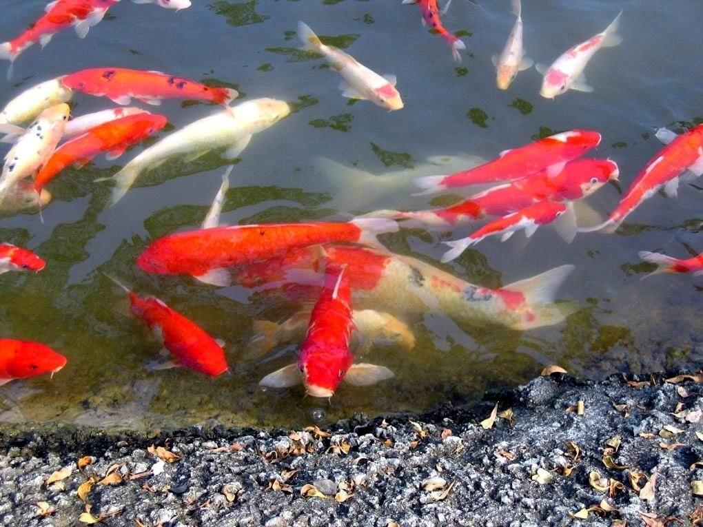 古风红色鲤鱼素材