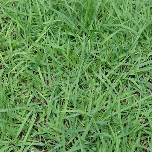 供高羊茅,早熟禾,黑麦草