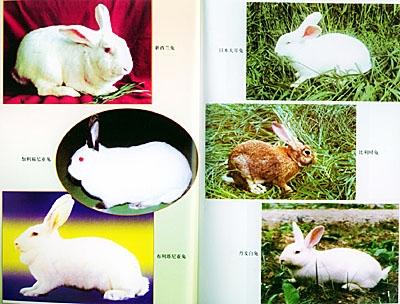 供应獭兔的饲养与管理