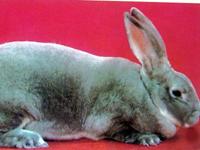 供应肉兔獭兔种兔