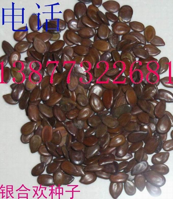 供应银合欢种子