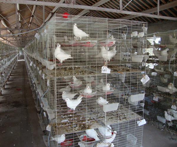 鸽子棚的标准设计图展示