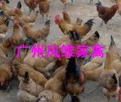 供应青脚土鸡