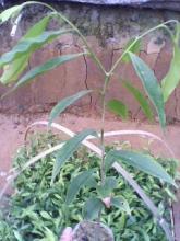 供应沉香木种苗种子