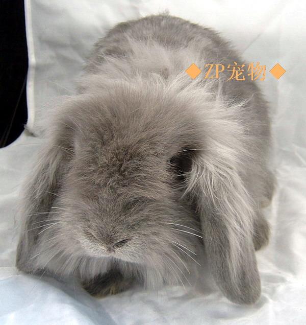 宠物兔_宠物兔供货商_供应各类型宠物兔