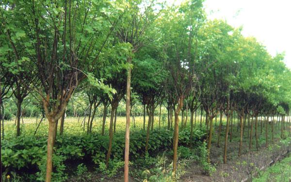 供应五角枫,行道树种,五角枫树,五角枫树苗,五角枫树价格