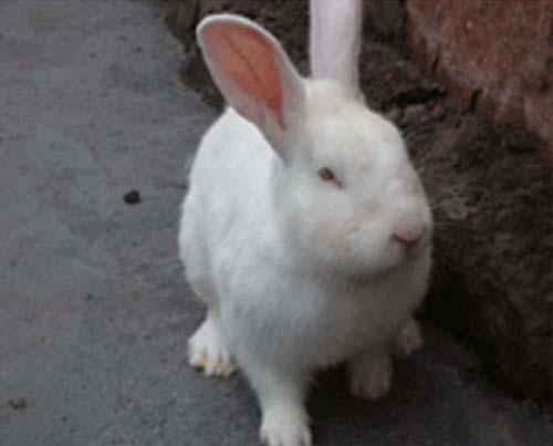 供应新西兰兔批发