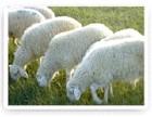 供应种羊肉羊批发