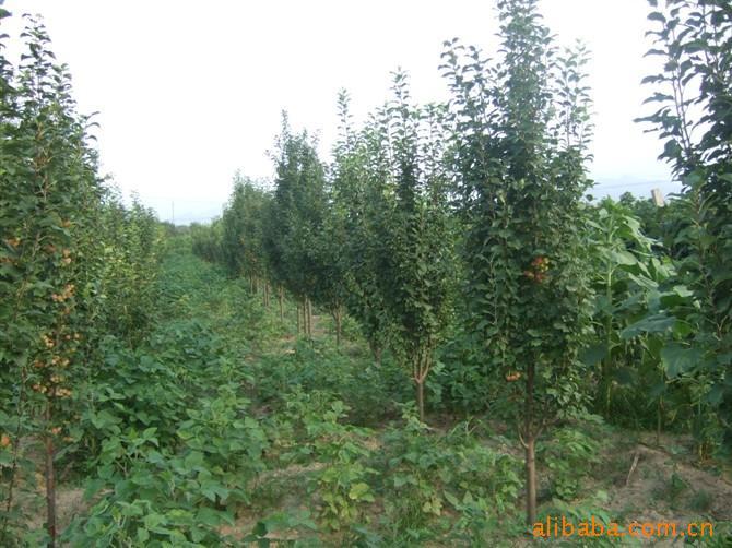 供应海棠树苗木价格图片