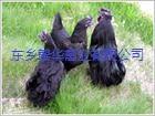 供应黑羽绿壳蛋鸡种苗价格是多少