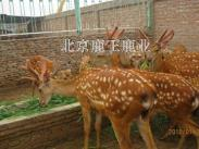 梅花鹿的养殖视频图片