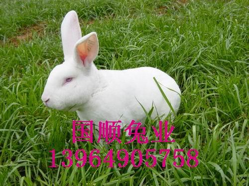 供应什么样的獭兔种兔好