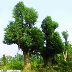 中国香樟百年古树在益阳图片