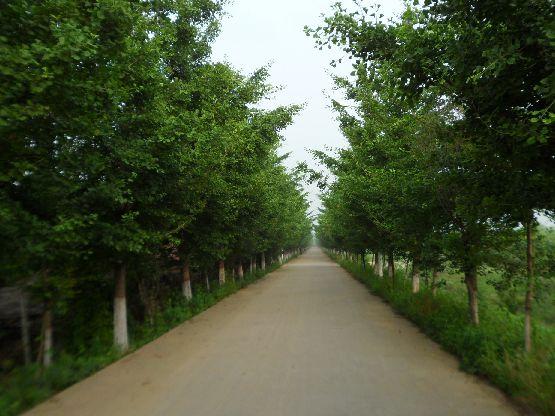 银杏树种植价格图片 银杏树种植价格样板图 银