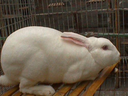 供应獭兔肉兔种兔