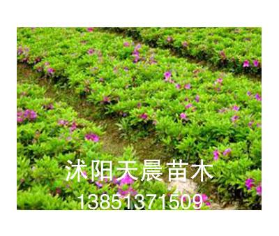 沭阳 苗木图片