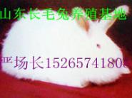 安哥拉长毛兔图片