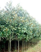 供应广丰绿化苗木