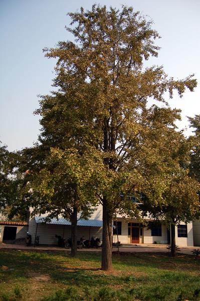 供应春季绿化银杏