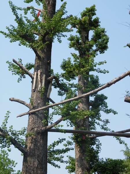 供应专供银杏古树