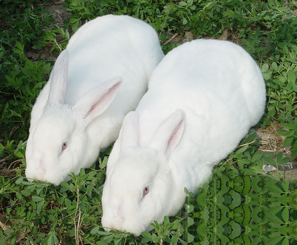獭兔最新行情_供应獭兔子最新价格2011獭兔子场獭兔子市场价獭兔子种兔