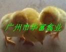 贵阳岭南黄鸡苗图片