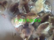 新疆新陂麻鸡苗价格图片