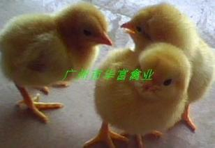 湘黄鸡苗价格图片