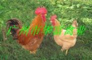 湘黄鸡苗生产图片