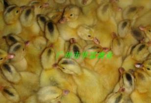 广州蛋鸭苗价格图片