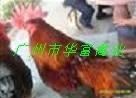 广州新陂麻鸡苗价格图片