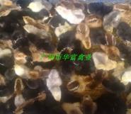 土杂鸡苗价格图片
