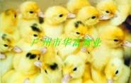 广州蛋鸭苗供应图片