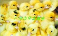 供应广州蛋鸭苗供应