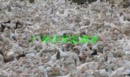 广州蛋鸭苗生产图片