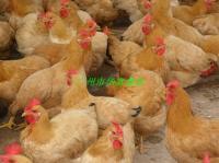 供应土一鸡苗厂家