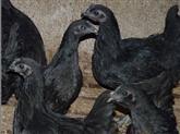 供应厂价直销绿壳蛋鸡苗五黑一绿鸡苗江西泰华育苗基地