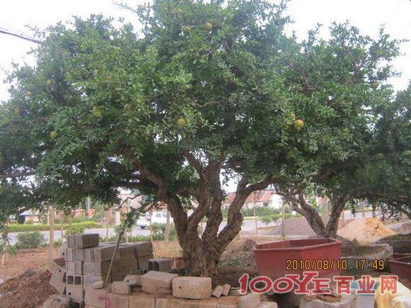 供应出售石榴树园林绿化树石榴古树盆景