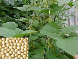 大豆提取物植物雌激素
