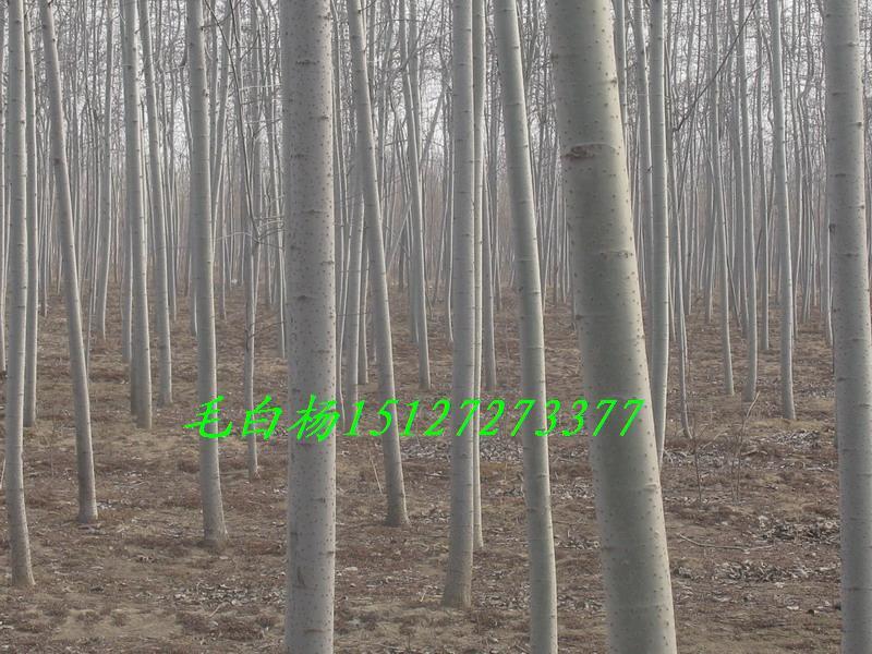 毛白杨树干端直,树形高大广阔