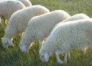 山东小尾寒羊养殖场图片