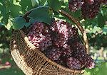 供應葡萄籽提取物原花青素