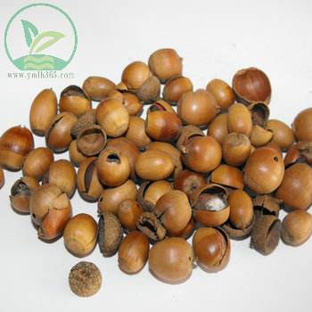 供应麻栎种子供应商批发