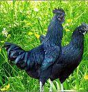 黑羽乌鸡图片/黑羽乌鸡样板图 (1)