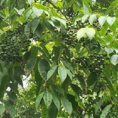 榉树种子种植技术_供应苏州榉树种子批发价格