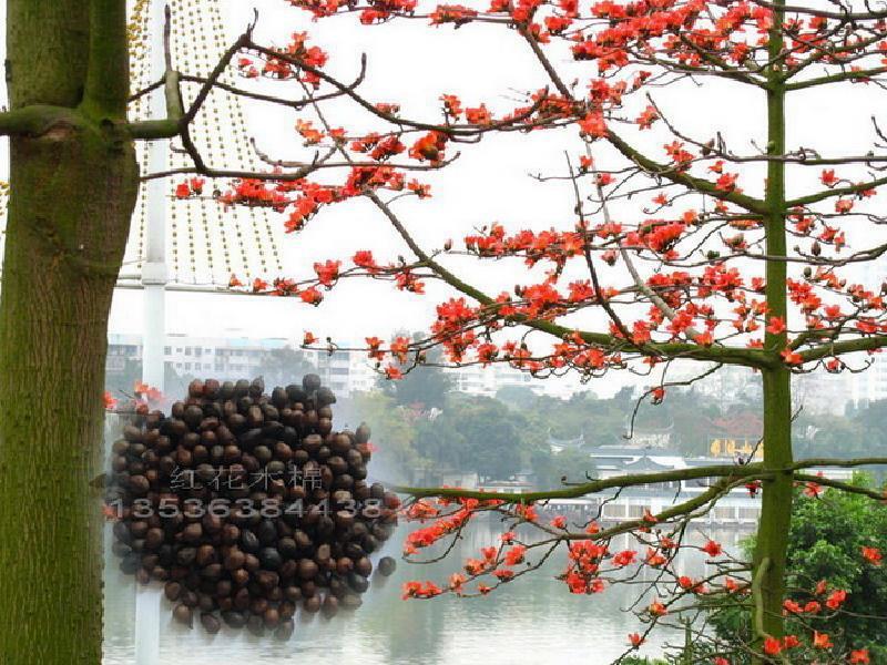 木棉/红花木棉种子图片