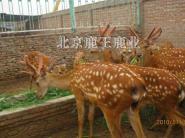 2011年梅花鹿养殖视频图片