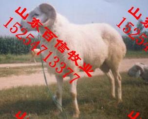 小尾寒羊种羊河北唐山养殖场河北唐山小尾寒羊种羊养殖场图片
