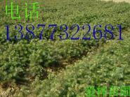 桂林杉木苗图片