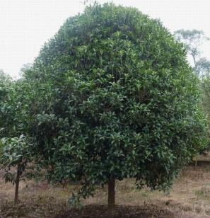 广西桂花树图片